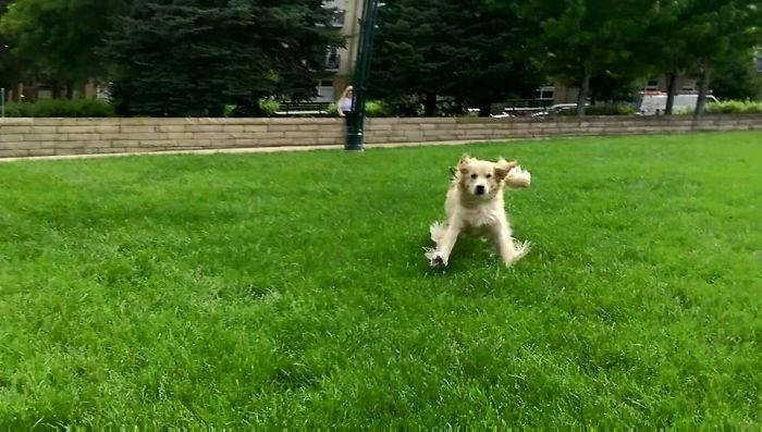 golden-retriever-running-towards-owner