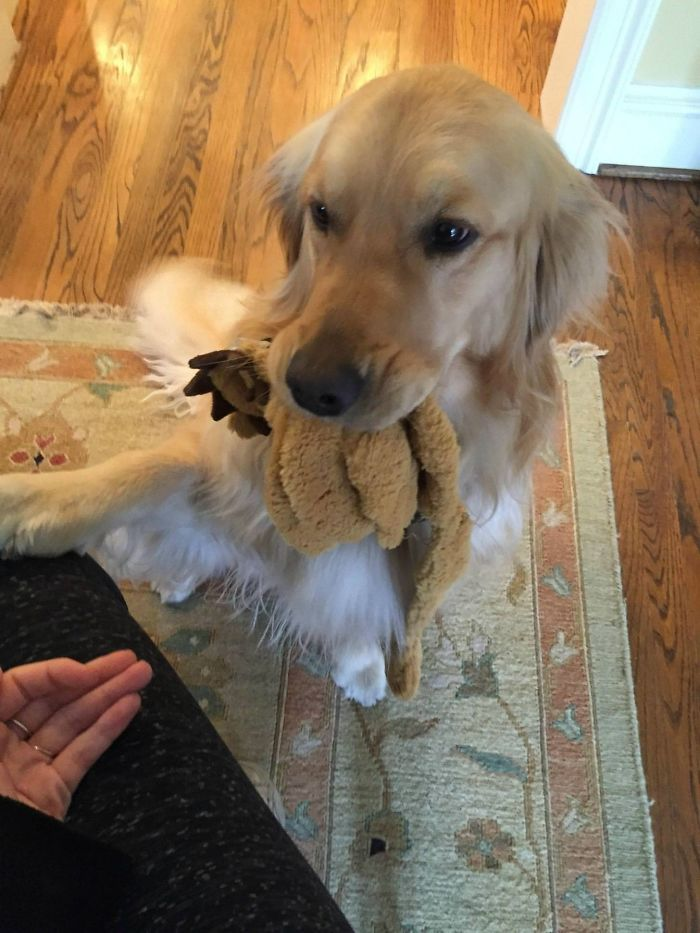 golden-retriever-with-toy-in-mouth