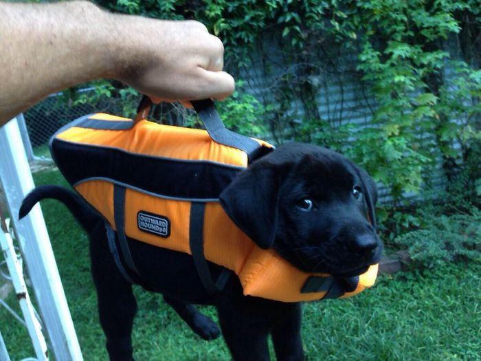 owner-holding-black-labrador-wearing-vest