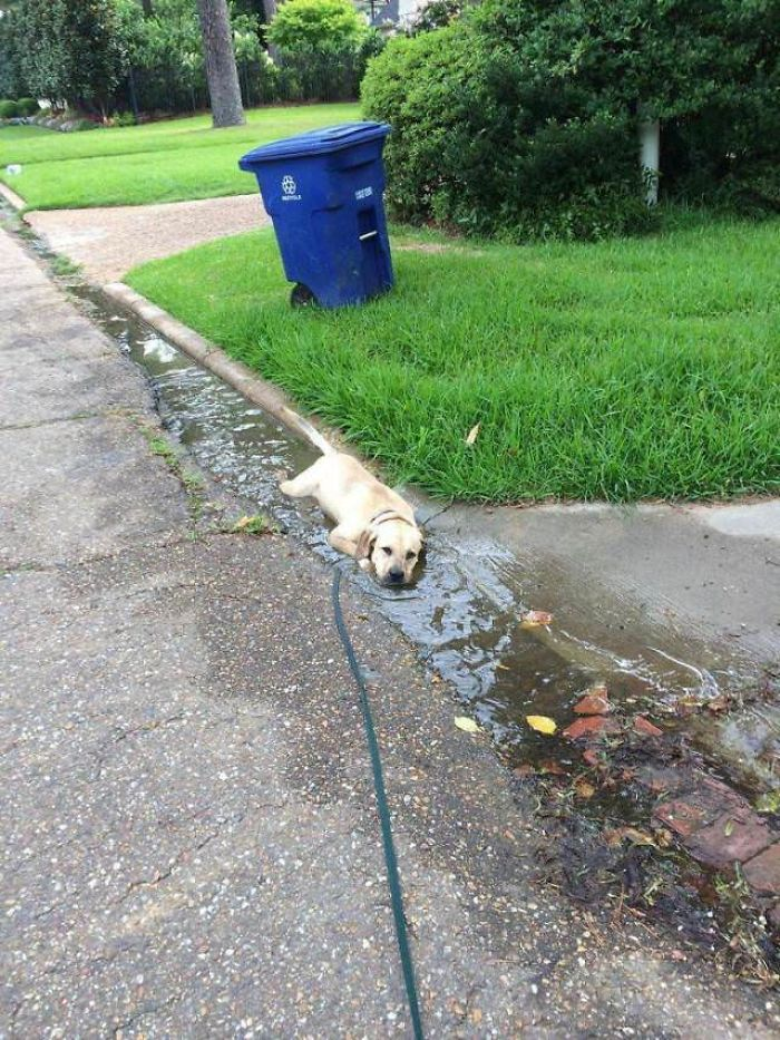 labrador-in-puddle-of-water