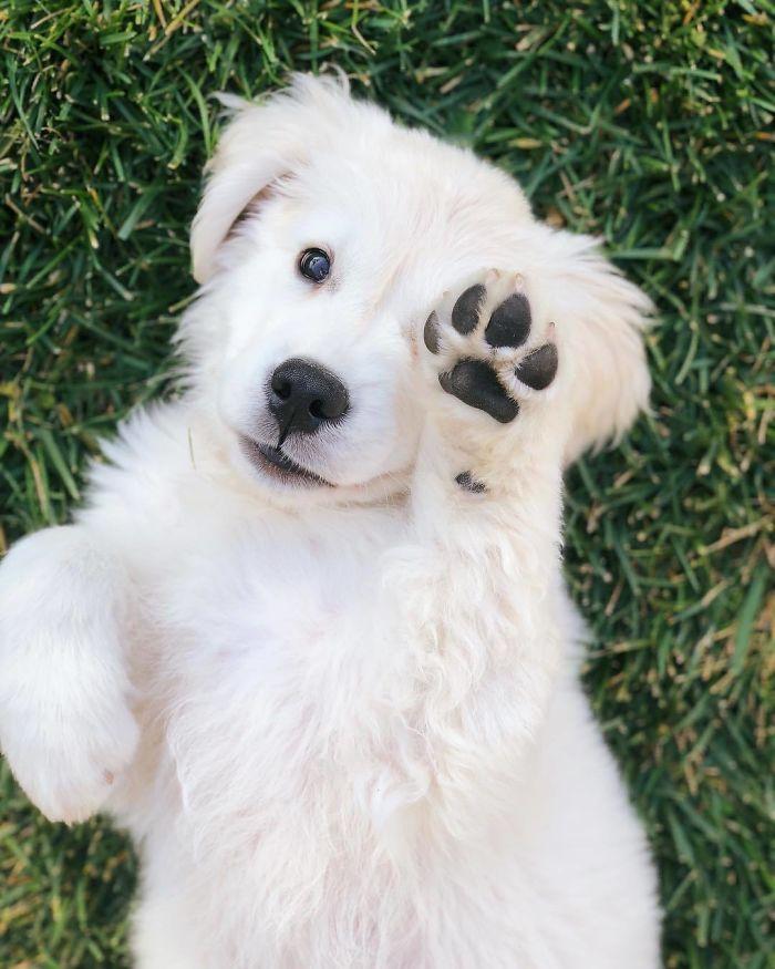 retriever-showing-his-paw