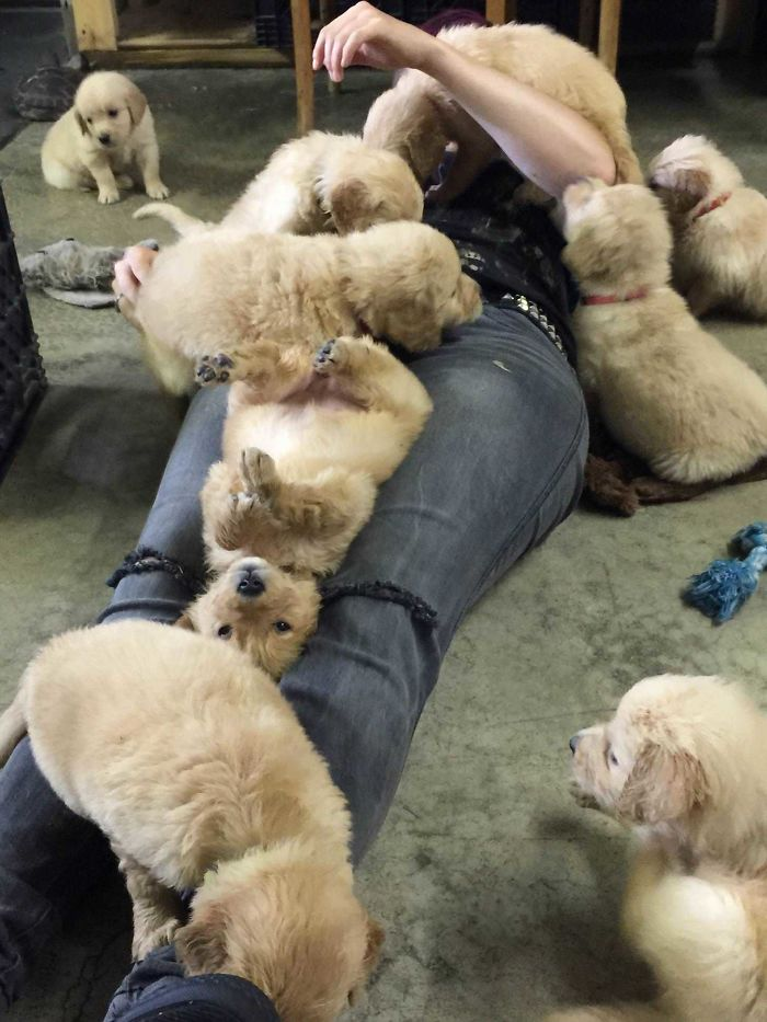 small-retrievers-ganging-up-on-person