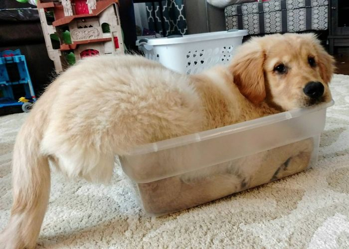 retriever-trying-to-fit-inside-container