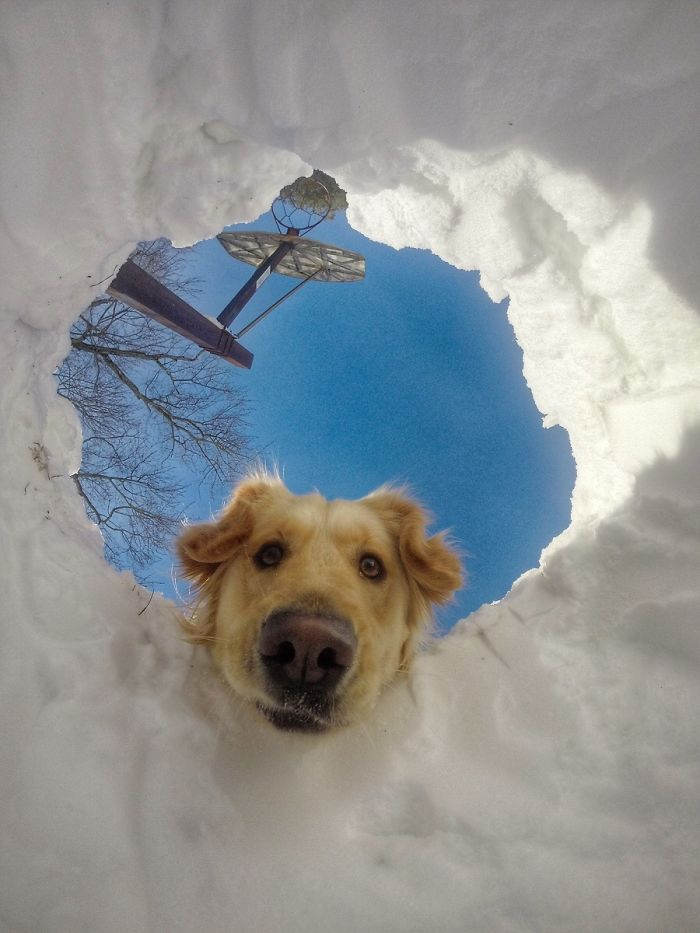 retriever-looking-at-owner-who-is-buried-inside-snow