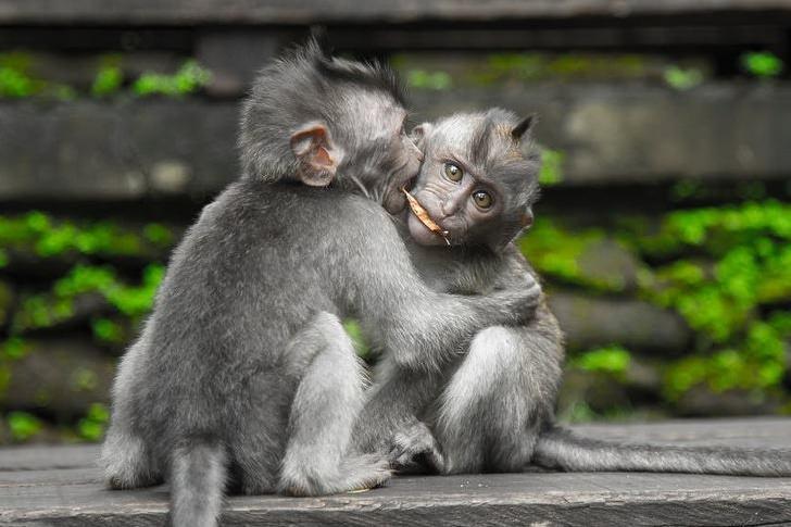 chimps-loving