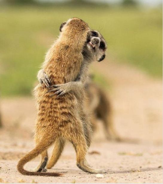 ferrets-hugging