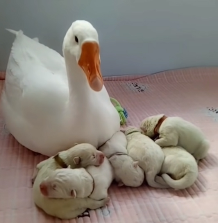 goose-nanny