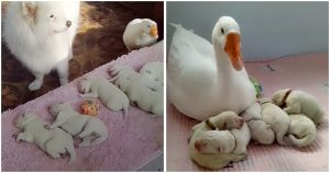goose-takes-care-of-puppies