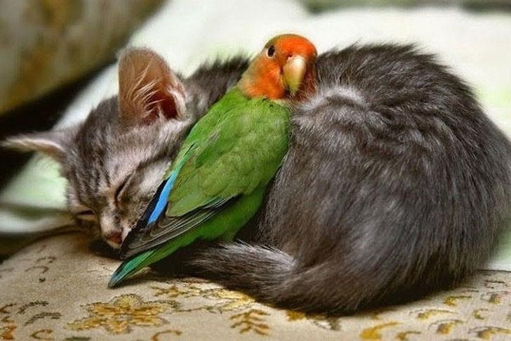 parrot-snuggling-cat