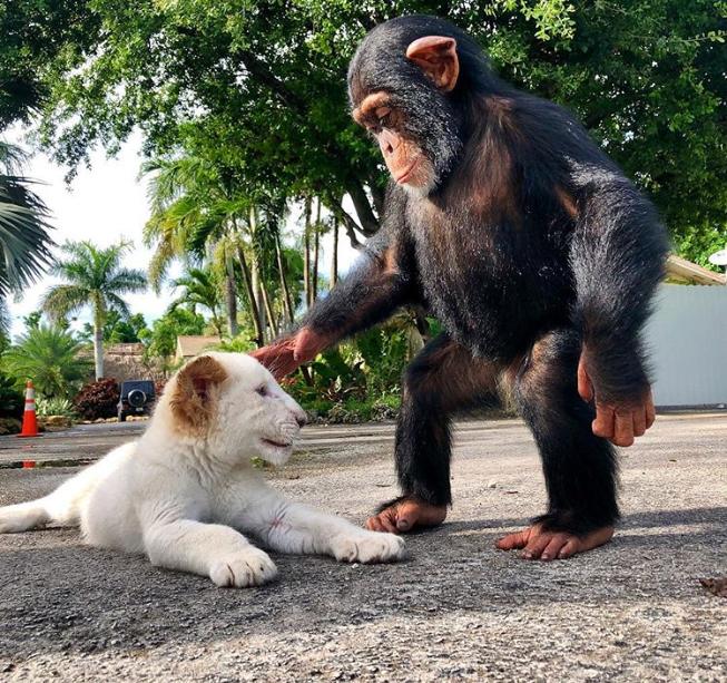 chimpanzee-and-tiger